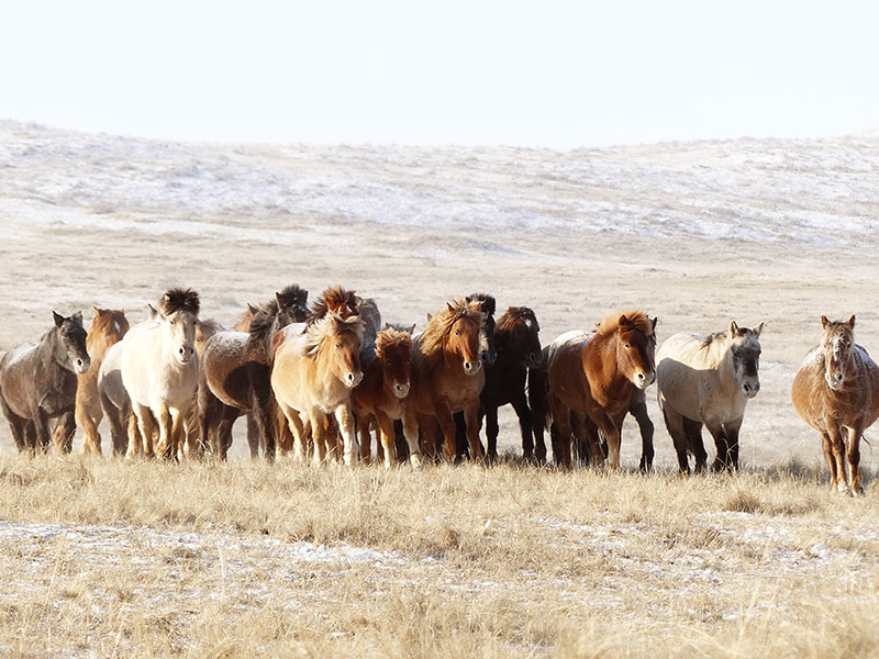 Mongolei Pferdefestival