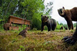 Bärenbeobachtung Rumänien
