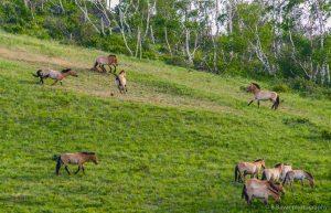 Przewalski Pferde Hustai Nationalpark