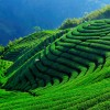 Tea plantation Taiwan