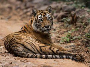 Tiger Indien