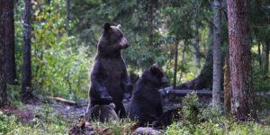 Bären Estland Familienreise