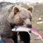 Kamtschatka Bärenbeobachtung