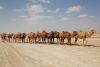 33Dehistan_Camels (Groß)