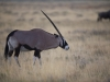 Etosha Oryx