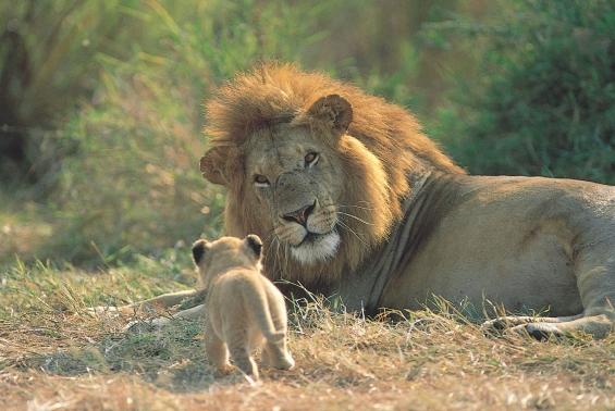 lion_preview