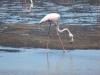 Flamingo Walvis Bayklein