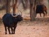 Waterberg Buffalo 01klein