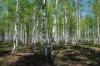 bingi-birkenwald