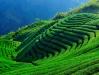 tea-plantation-taiwan